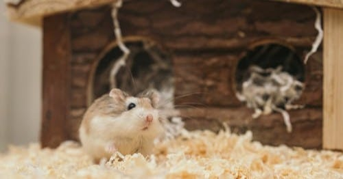 hamsters make great small pets for the family