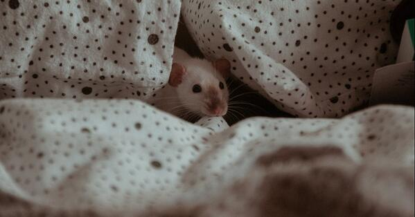 rats make great pets and are easy to care for